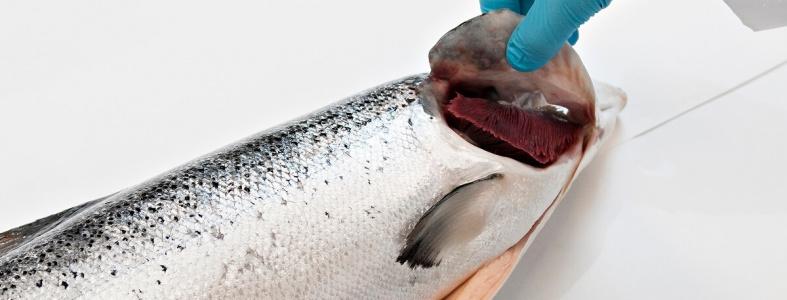 Bedöma kvaliteten på färsk fisk